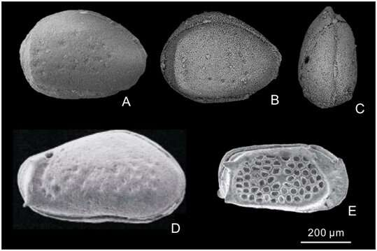 Evolutionary pattern of genus Cribroconcha reveals survival strategy of ostracods from the late Paleozoic