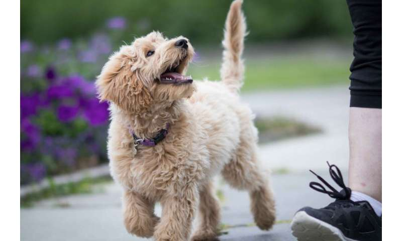 New research finds Australian labradoodles are more 'poodle' than 'lab'. Here's what that tells us about breeds
