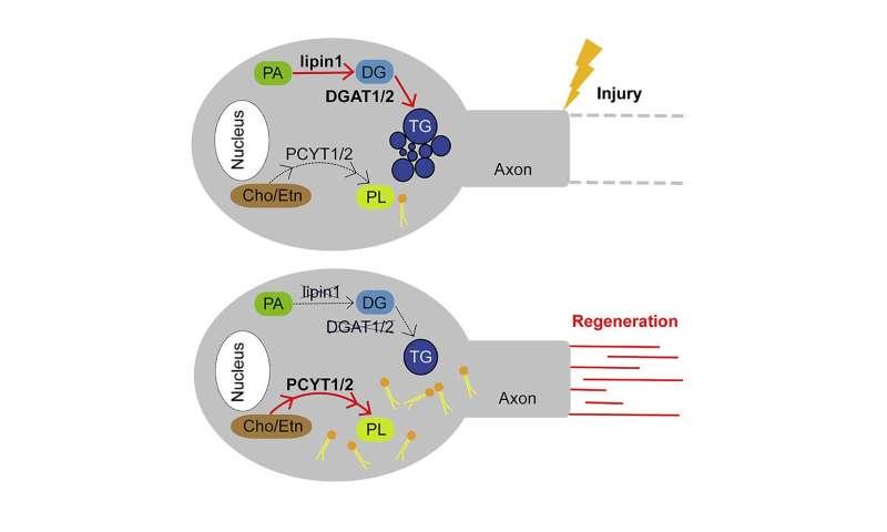 Researchers find that regulating lipid metabolism in neurons helps axon regeneration