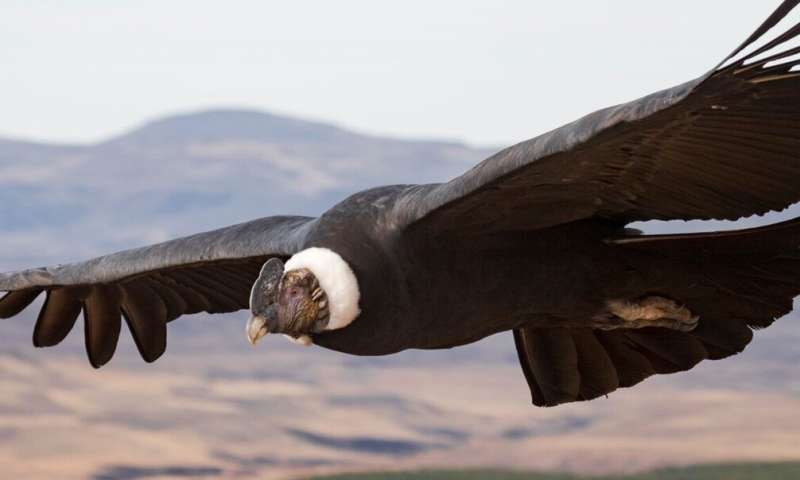 Study examines flight performance in the heaviest soaring birds