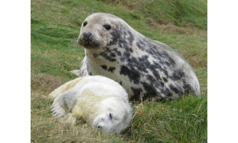Research reveals the extent of grey seals' maternal sacrifice