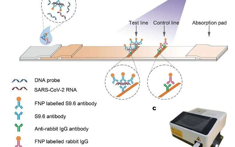 Scientists develop rapid lateral flow immunoassay for fluorescence detection of SARS-CoV-2 RNA