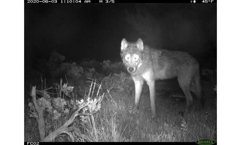After wolves rebound across US West, future up to voters
