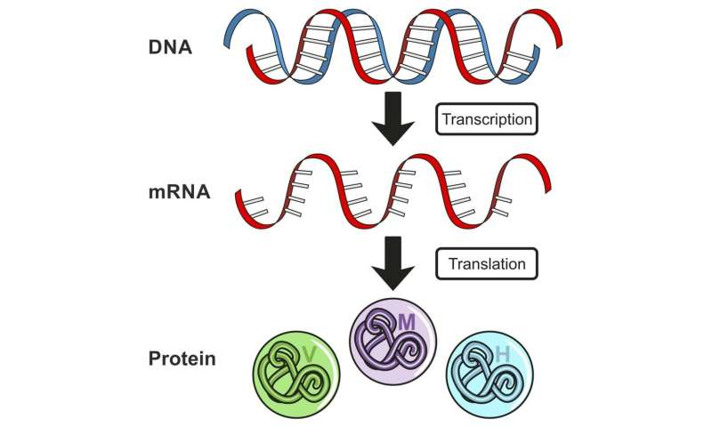 Coronavirus: A new type of vaccine using RNA could help ...