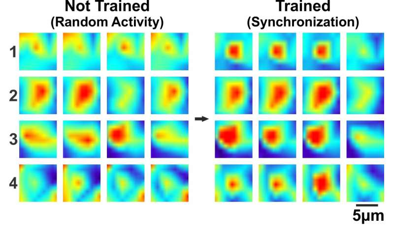 Researchers find synchronization of memory cells critical for learning and forming memories