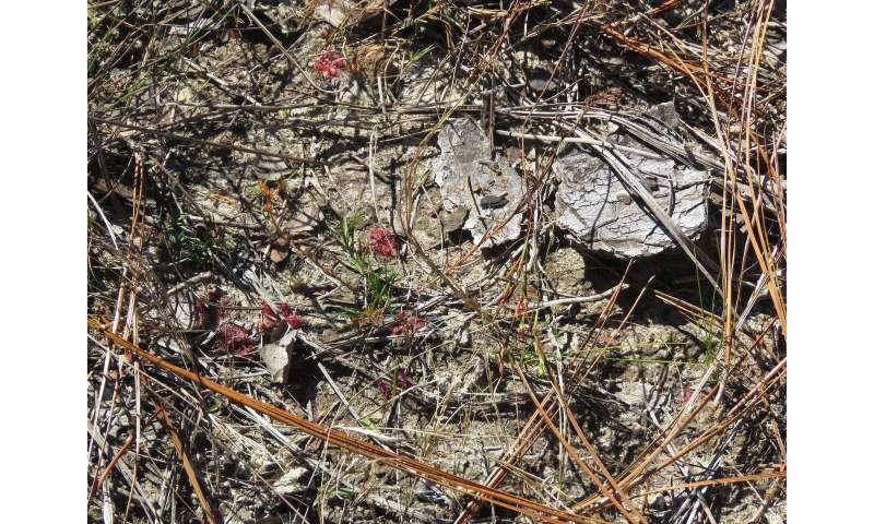 Restoring longleaf pines, keystone of once vast ecosystems