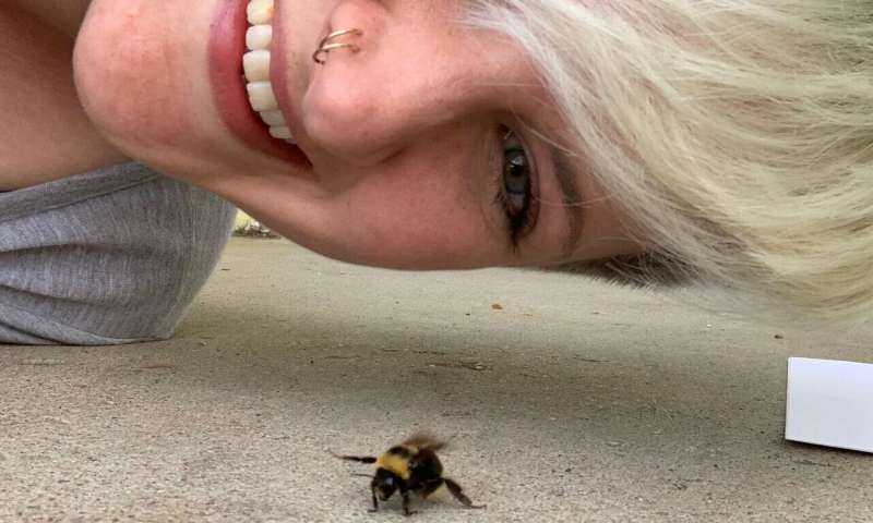 Researchers look for answers as to why western bumblebees are declining
