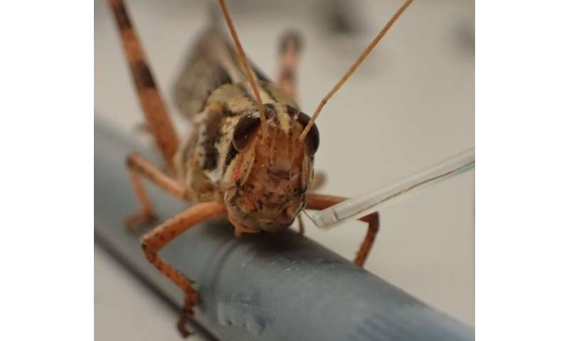 Researchers one step closer to bomb-sniffing cyborg locusts