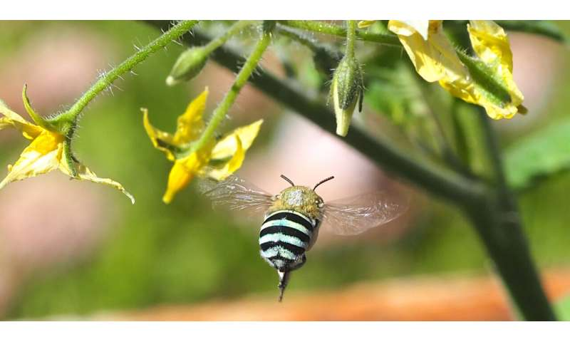 Researchers must 'bee' sweep netting to learn more about native bees