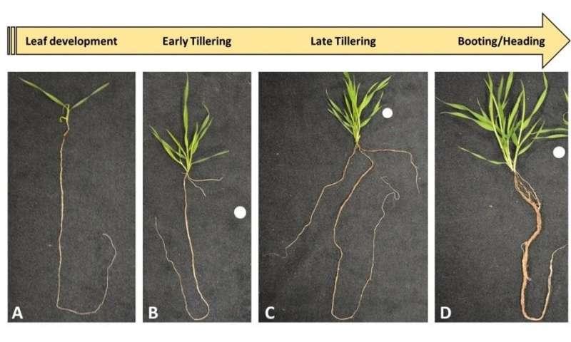 Scientists identify specific molecular elements that regulate root development
