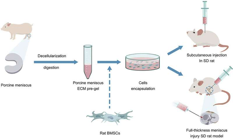 Researchers develop injectable extracellular-matrix-based biomaterials for meniscus repair