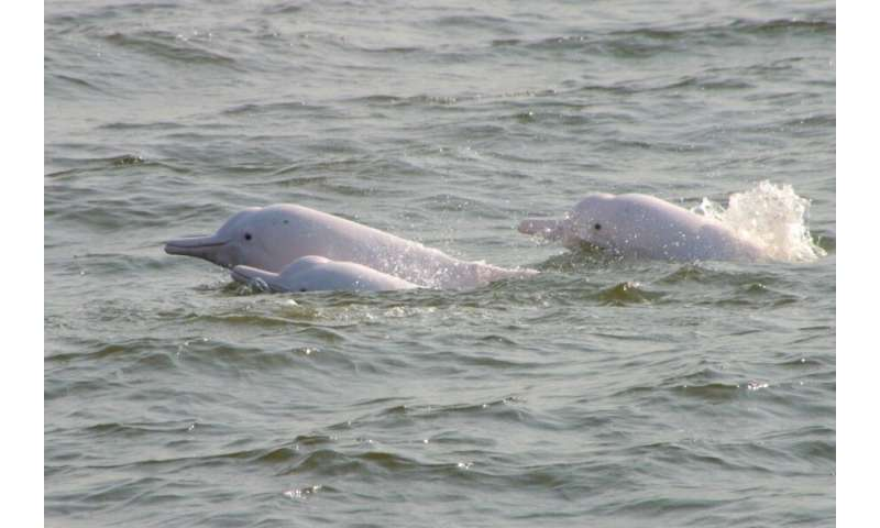 Scientists find high concentrations of toxic phenyltin compounds in local Chinese white dolphins and finless porpoises