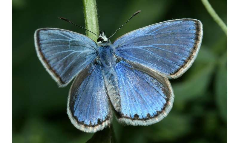 Scientists unravel the evolution and relationships for all European butterflies in a first
