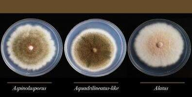 Researchers discover hybrid fungus involved in lung infections