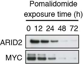 New insights into how the drug pomalidomide fights cancer