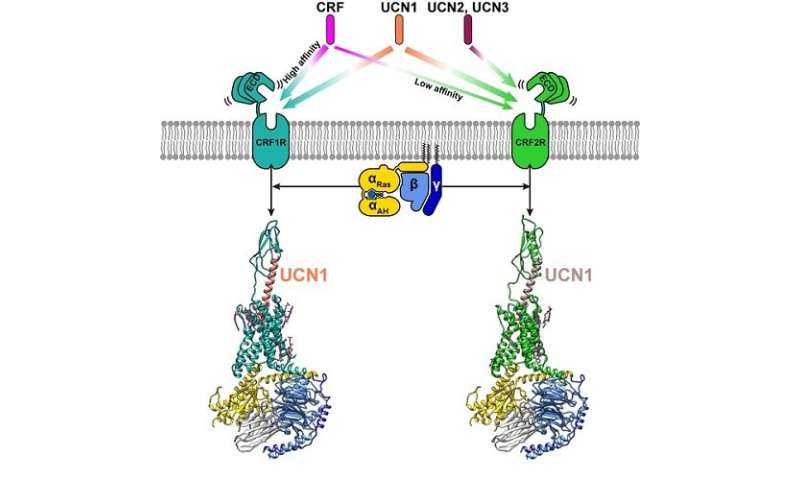 Researchers conduct structural and functional studies of corticotropin-releasing factor receptors