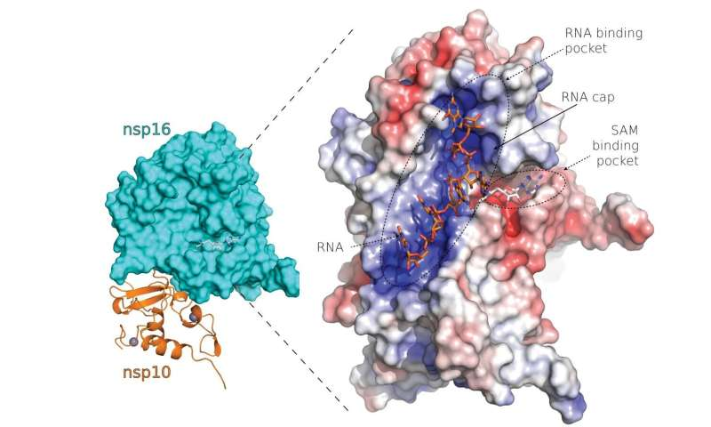Researchers describe structure of novel coronavirus proteins suitable for design of new drugs