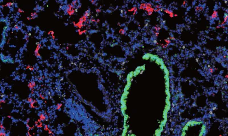 Researchers develop new mouse model for SARS-CoV-2