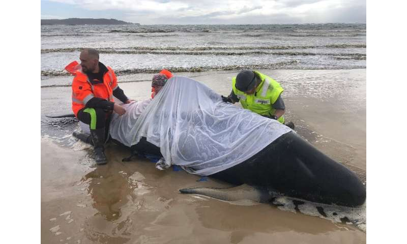 At least 380 whales have died in a mass stranding in southern Australia with rescuers managing to free just a few dozen survivor
