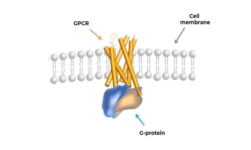 Biophysicists find a way to take a peek at how membrane receptors work
