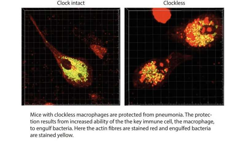 Body clock affects how the immune system works – new findings