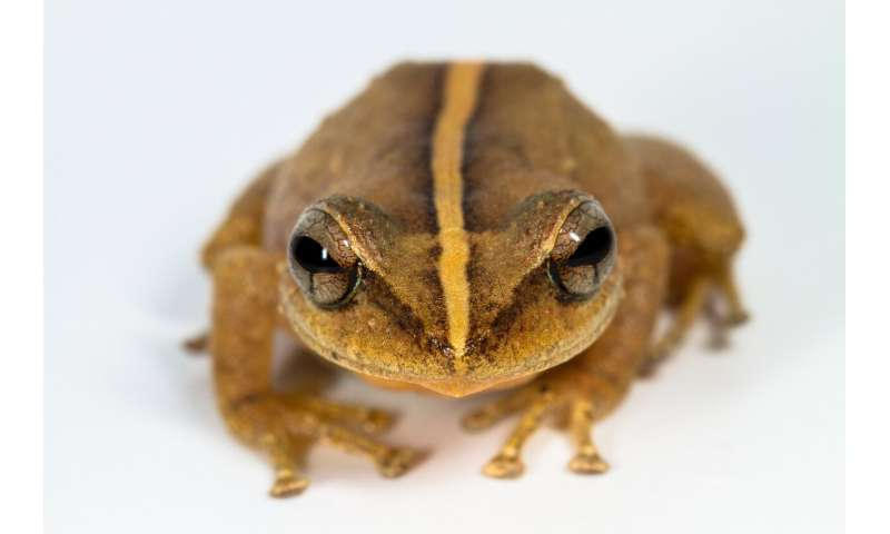 Coquí fossil from Puerto Rico takes title of oldest Caribbean frog