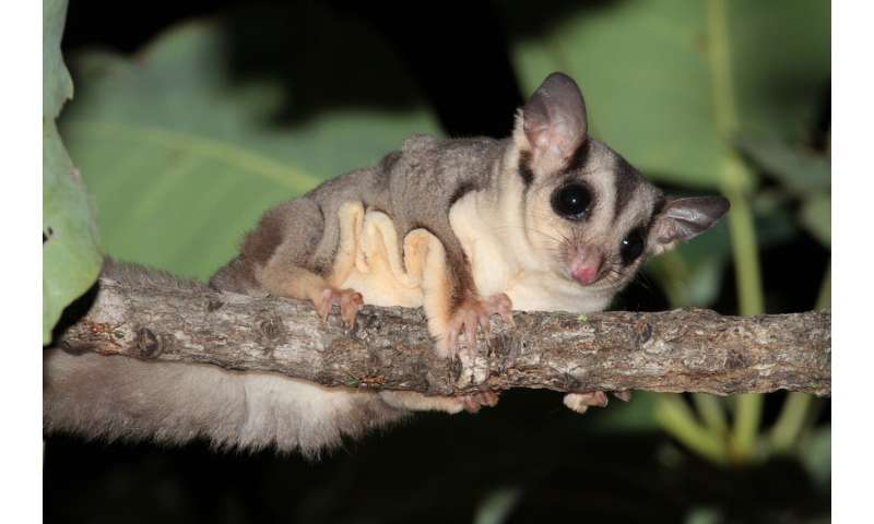 Discovery of new glider species highlights conservation risk