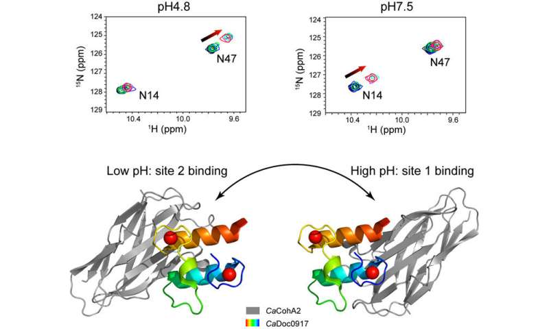 Discovery of pH-dependent 'switch' in interaction between pair of protein molecules