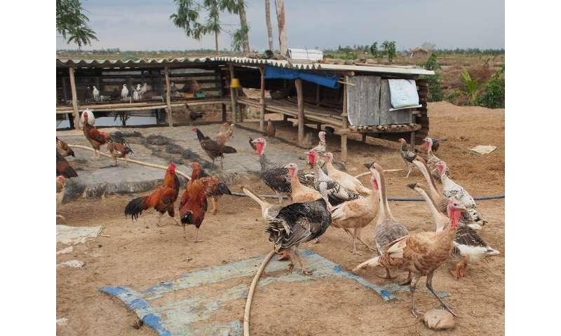 La venta rápida de aves de corral por parte de los agricultores durante los brotes puede aumentar la transmisión de virus mortales