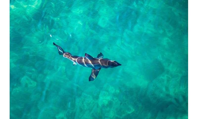 Great white shark diet surprises scientists