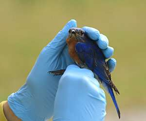 In a quiet world, research on noise and nesting bluebirds