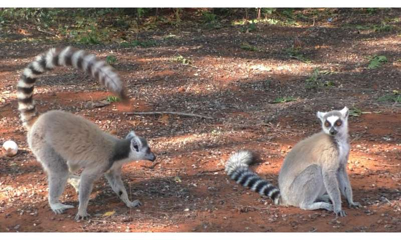 Male ring-tail lemurs exude fruity-smelling perfume from their wrists to attract mates