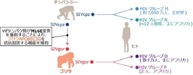 Molecular mechanism of cross-species transmission of primate lentiviruses