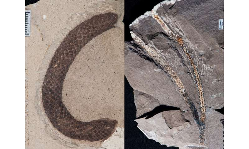 New Argentine fossils uncover history of celebrated conifer group
