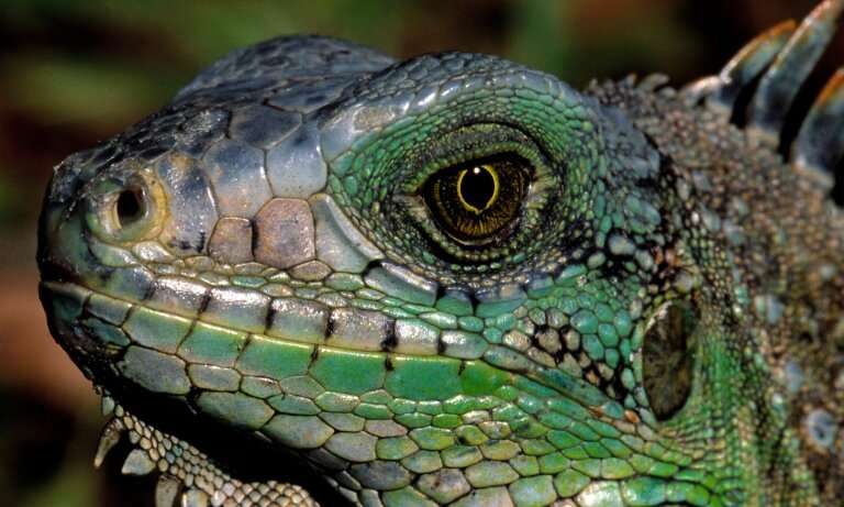 New iguana species found hiding in plain sight