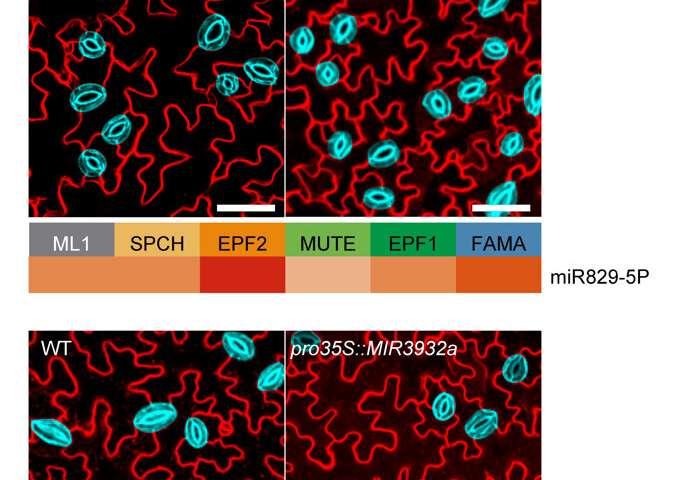 Sésamo abierto: los micro ARN regulan los poros de las plantas