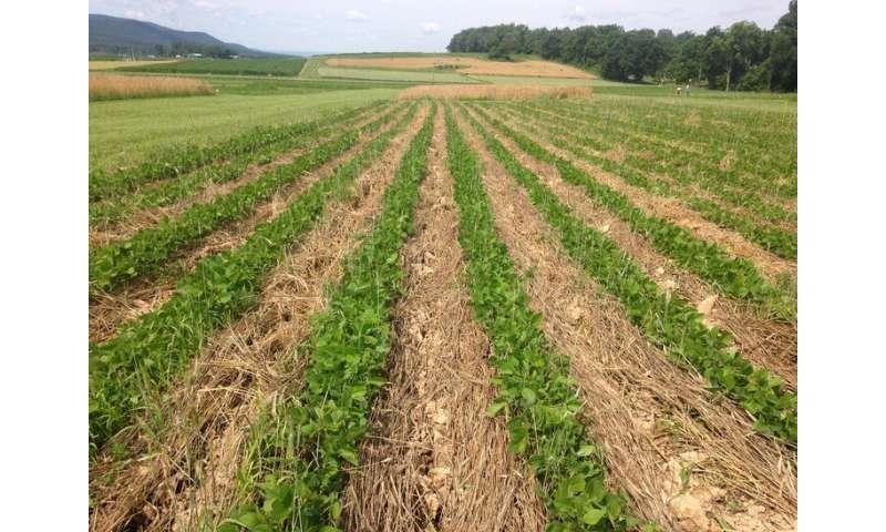 Los productores de soja orgánica pueden ser competitivos con poca o ninguna labranza
