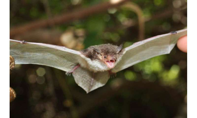 Penis bones, echolocation calls, and genes reveal new kinds of bats