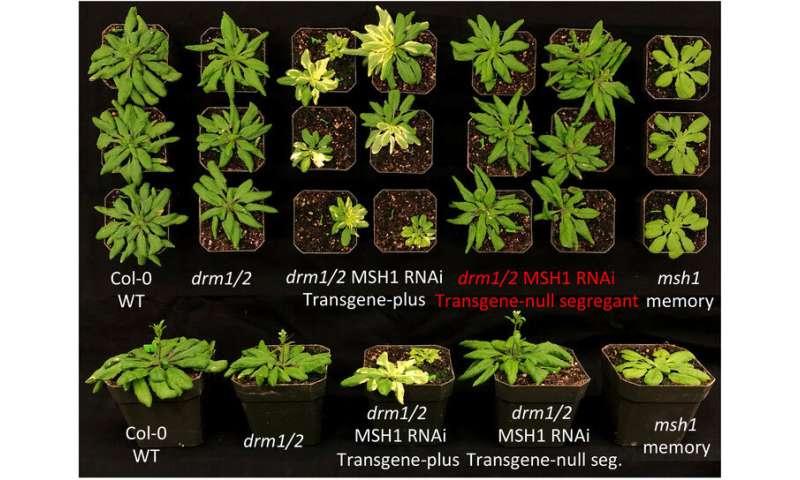 Las plantas transmiten 'memoria' del estrés a cierta progenie, haciéndolas más resistentes