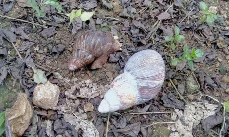 Príncipe's Obô snail population declines by more than 75% in the last 20 years