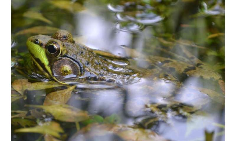 Reanalysis of global amphibian crisis study finds important flaws