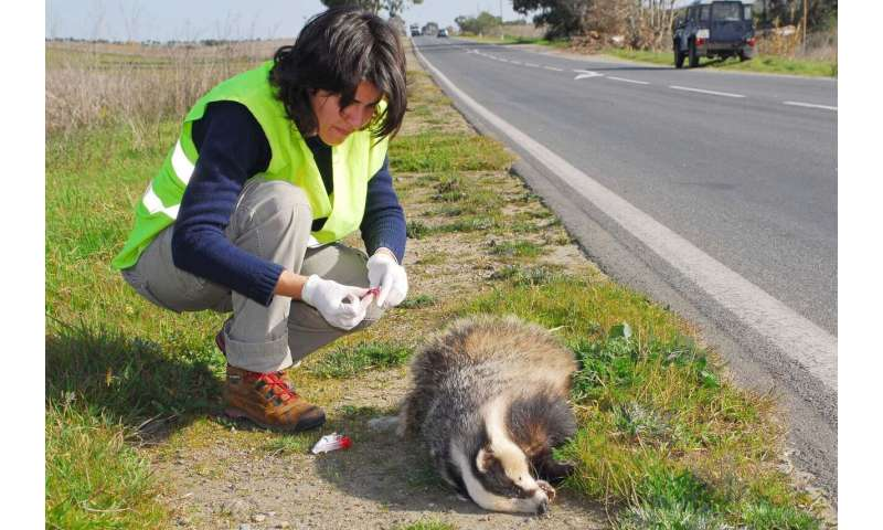 Roadkill study identifies animals most at risk in Europe