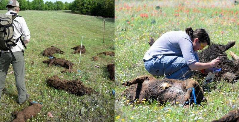Rotting feral pig carcasses teach scientists what happens when tons of animals die all at once, as in Australia's bushfires
