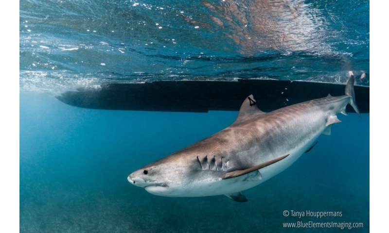 Scientists at work: Uncovering the mystery of when and where sharks give birth