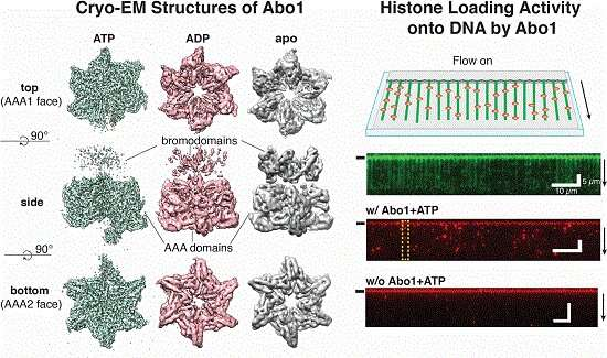 Scientists discover the mechanism of DNA high-order structure formation