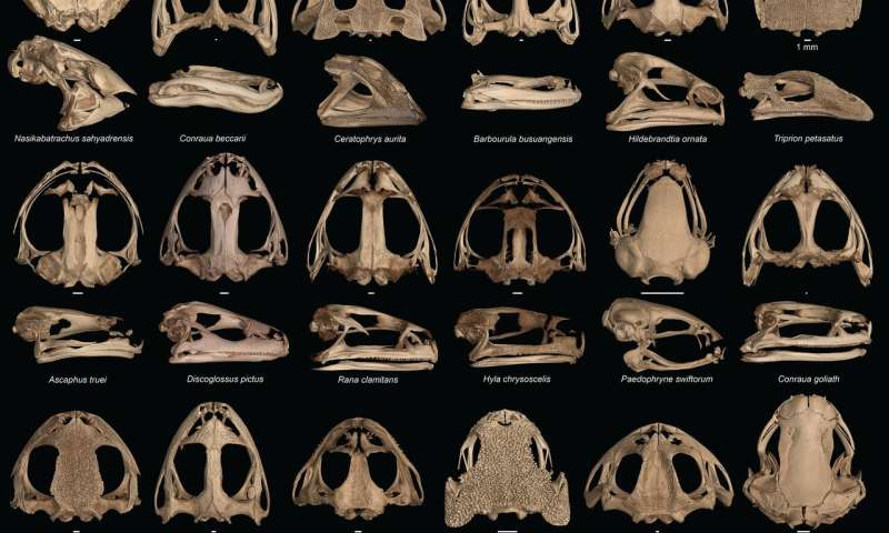 Skulls gone wild: How and why some frogs evolved extreme heads