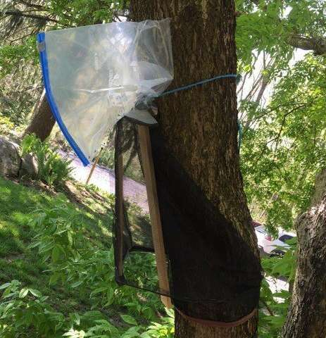 Spotted lanternfly tree traps can be effective, but need careful installation