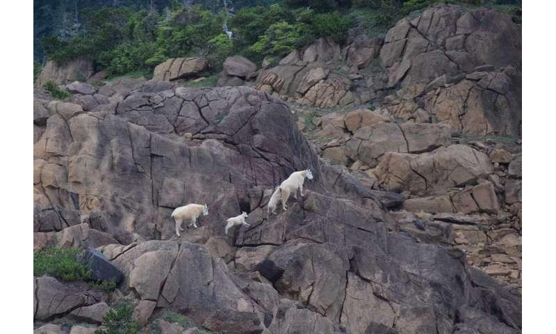 El estudio del genoma de las cabras montesas nos muestra cómo se adaptaron a su entorno