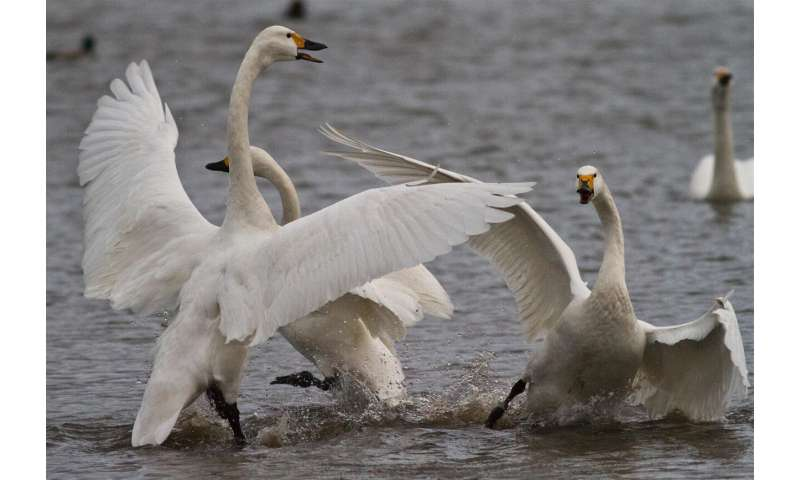 Swans reserve aggression for each other