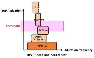 The YAP signal plays a crucial role in head-and-neck cancer onset